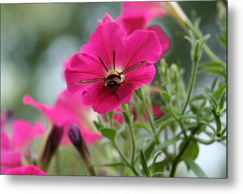 Clearwing Hummingbird Moth Metal Print featuring the photograph Clearwing Hummingbird Moth At Work In Patch Of Petunias by Bonnie Boden