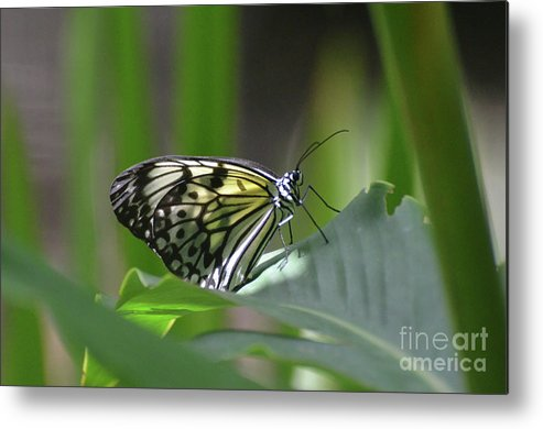 Tree-nymph Metal Print featuring the photograph Close Up Look At A Paper Kite Butterfly On Foliage by DejaVu Designs