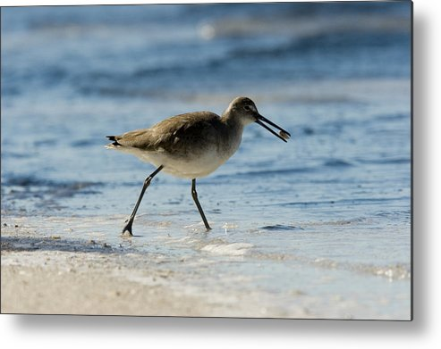 Beaches Metal Print featuring the photograph Closeup Of A Willet Catoptrophorus by Tim Laman