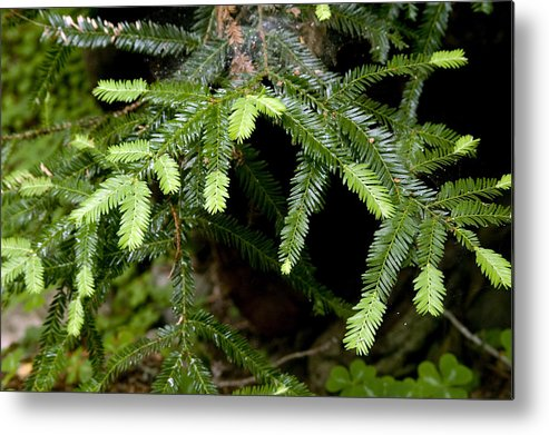 California Metal Print featuring the photograph Coastal Pine by Gary Brandes