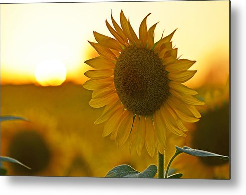 Newbury Metal Print featuring the photograph Colby Farms Sunflower Field Newbury Ma Closeup Sunset by Toby McGuire