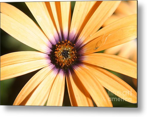 Flower Metal Print featuring the photograph Color Burst by Amy Holmes