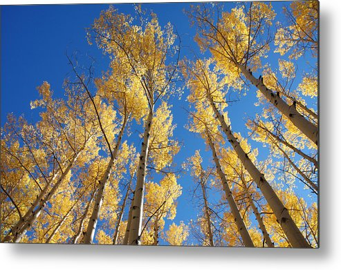 Aspen Metal Print featuring the photograph Colorado Aspen by Jerry McElroy