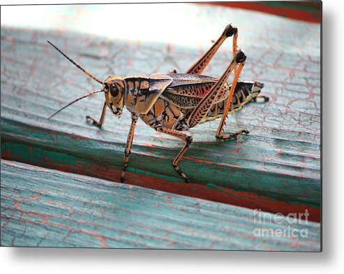 Insects Metal Print featuring the photograph Colorful Grasshopper by Carol Groenen