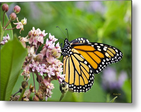 Colorful Monarch Butterfly Metal Print by Christina Rollo