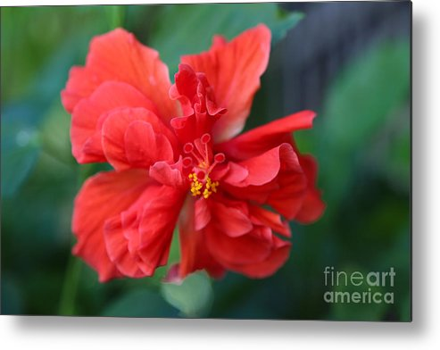 Hibiscus Metal Print featuring the photograph Colors Of The Tropics Hibiscus by Carol Groenen