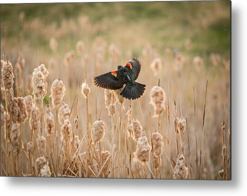 Bird Metal Print featuring the photograph ...coming Home by Cory Huchkowski