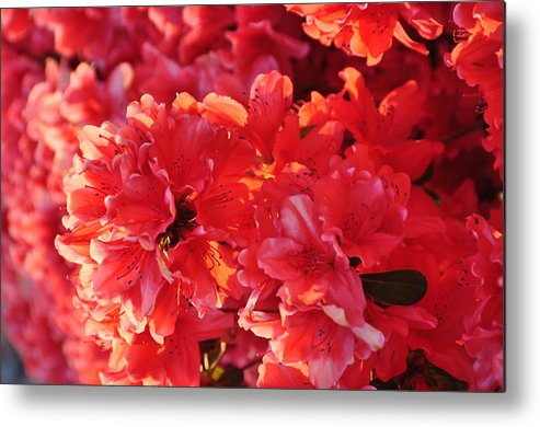 Floral Metal Print featuring the photograph Coral Pink Azaleas by Jan Amiss Photography