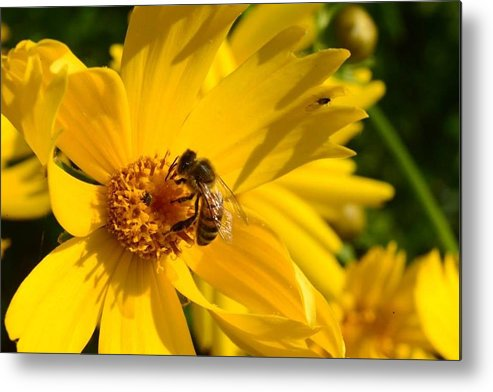 Coreopsis Metal Print featuring the photograph Coreopsis Beauty And The Bee. by Vonda Barnett