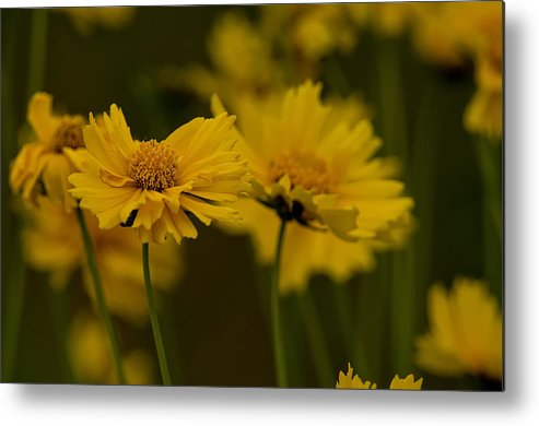 Coreopsis Metal Print featuring the photograph Coreopsis by Michael Cummings