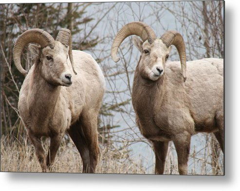 Bighorn Sheep Metal Print featuring the photograph Couple Of Rams- Banff National Park by Tiffany Vest