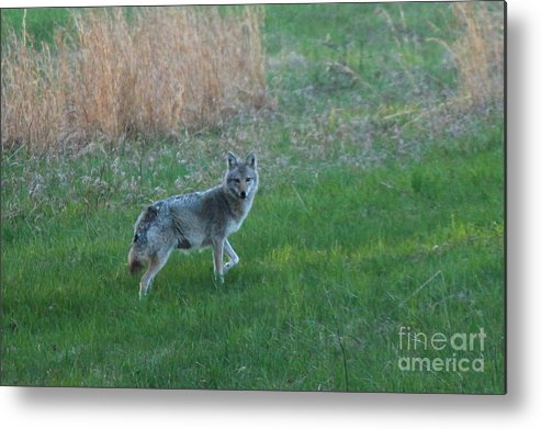 Coyote Metal Print featuring the photograph Coyote Stance by Neal Eslinger