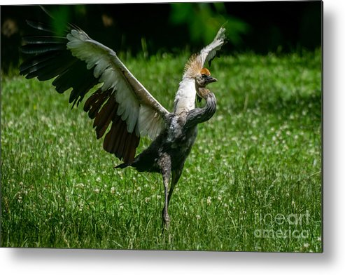 East African Crowned Crane Metal Print featuring the photograph Crane On A Mission by Tim Sevcik