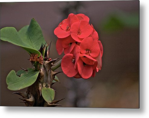 Flower Metal Print featuring the photograph Crown Of Thorns by Eddie Freeman
