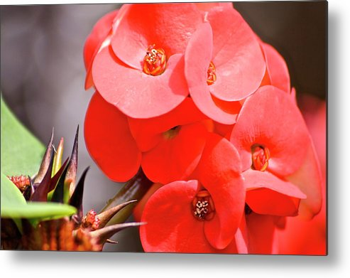 Flower Metal Print featuring the photograph crown of thorns II by Eddie Freeman