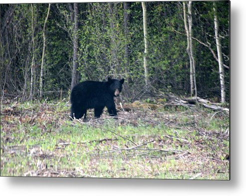 Black Bear Nature Wild Animal Trees Forest Rainbow Lodge Piprell Lake Saskatchewan Metal Print featuring the photograph Curious Black Bear by Andrea Lawrence