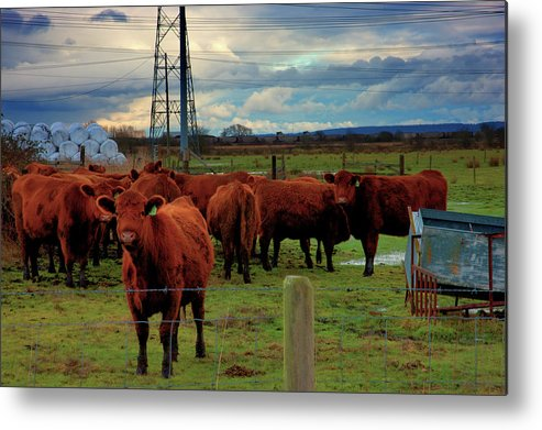Cattle Metal Print featuring the photograph Curious Cattle by Paul Kloschinsky