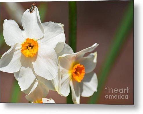 Daffodil Dazzle Metal Print featuring the photograph Daffodil Dazzle by Maria Urso