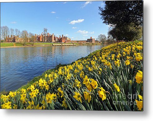 Daffodils Beside The Thames At Hampton Court London Uk Metal Print featuring the photograph Daffodils Beside The Thames At Hampton Court London Uk by Julia Gavin