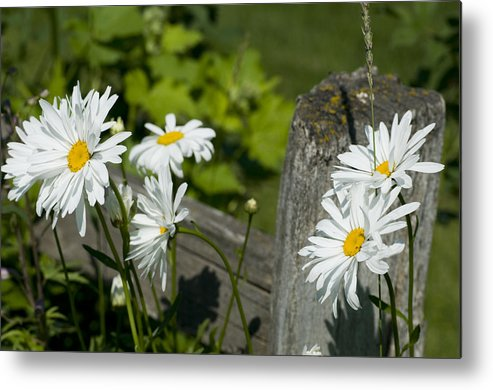 Daisies Metal Print featuring the photograph Daisy Delight by Peter Olsen