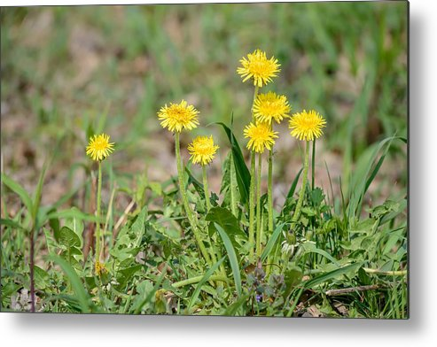 Beautiful Metal Print featuring the photograph Dandelion Flowers by Alain De Maximy
