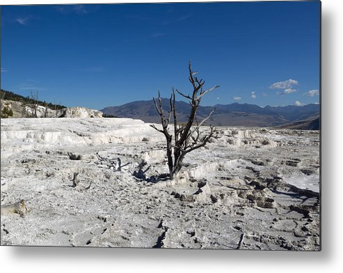Tree Metal Print featuring the photograph Dead Tree In Yellowstone Park Hot Springs by Thomas Baker