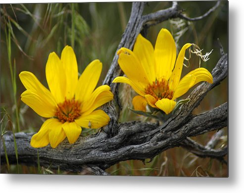 Flowers Metal Print featuring the photograph Desert Bloom by Lori Mellen-Pagliaro