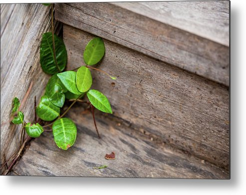 Plant Metal Print featuring the photograph Determined by Ken Hurst