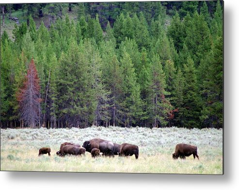Herd Of Bison Metal Print featuring the photograph Dinner Time by Ming Yeung