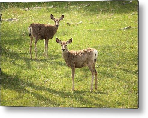 Deer Metal Print featuring the photograph Doe A Deer by Taylor Munson