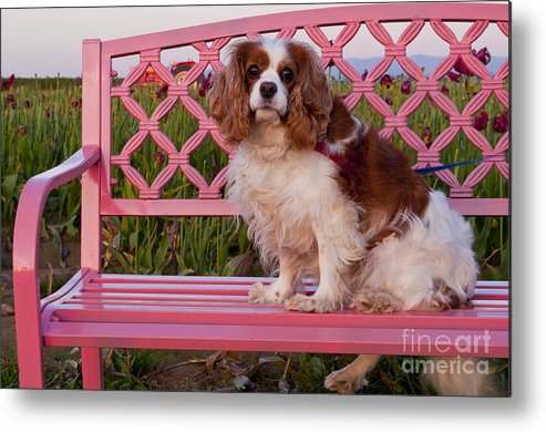Wooden Shoe Metal Print featuring the photograph Dog On Pink Bench by Mandy Judson