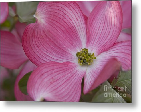 Dogwood Metal Print featuring the photograph Dogwood Bloom by Idaho Scenic Images Linda Lantzy