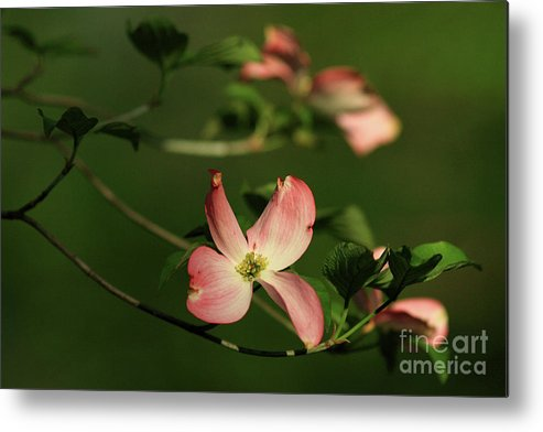 Dogwood Metal Print featuring the photograph Dogwood In Pink by Douglas Stucky