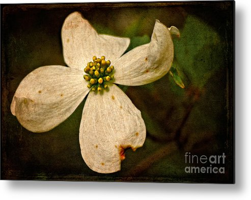 Dogwood Metal Print featuring the photograph Dogwood by Lois Bryan