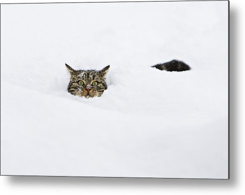 Mp Metal Print featuring the photograph Domestic Cat Felis Catus In Deep Snow by Konrad Wothe