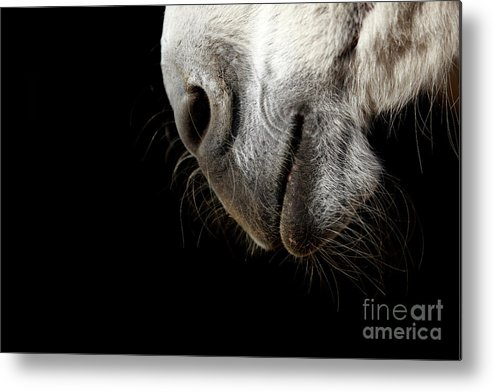 Mouth Metal Print featuring the photograph Donkey's Mouth by Jana Behr