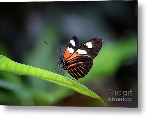 Nature Metal Print featuring the photograph Doris Longwing Butterfly 2017 by Karen Adams
