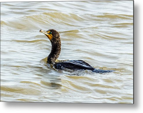 Cormorant Metal Print featuring the photograph Double-breasted Cormorant by Yeates Photography