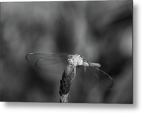 Dragonfly Metal Print featuring the photograph Dragonfly On A Flower In Black And White by Thitiwut Thitiprasert