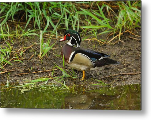 Wood Duck Metal Print featuring the photograph Drake Wood Duck by Robert Smice