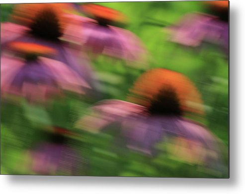 Coneflowers Metal Print featuring the photograph Dreaming Of Flowers by Karol Livote