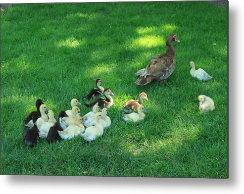 Animals Metal Print featuring the photograph Duck Family by Sabina Thomas