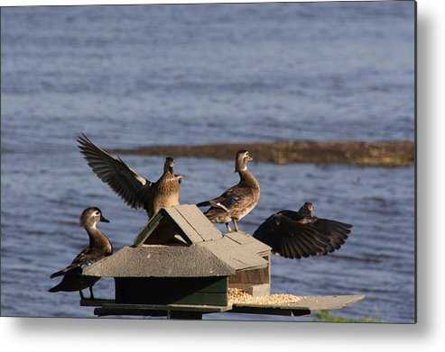 Ducks Metal Print featuring the photograph Duck Flyby by Jerry Patchin