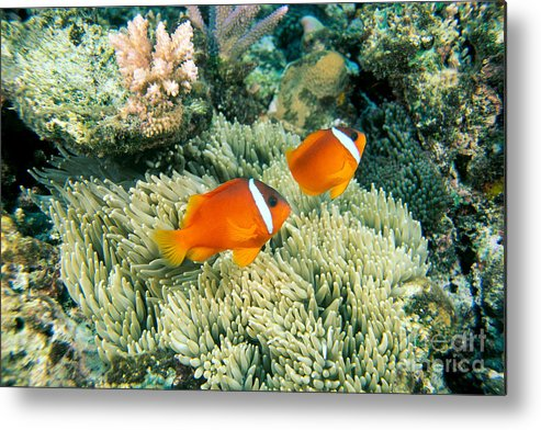 Amphiprion Metal Print featuring the photograph Dusky Clownfish by Dave Fleetham - Printscapes