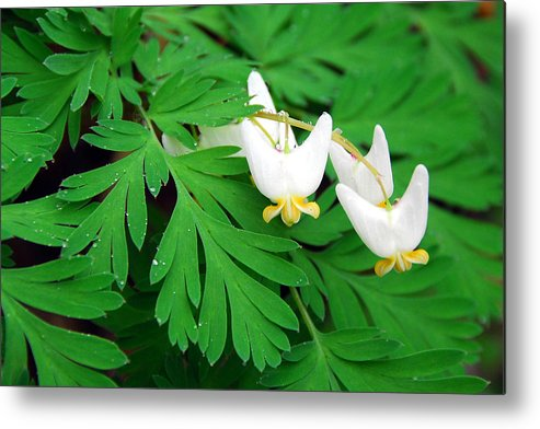 Dutchman's Breeches Metal Print featuring the photograph Dutchman's Breeches by Alan Lenk