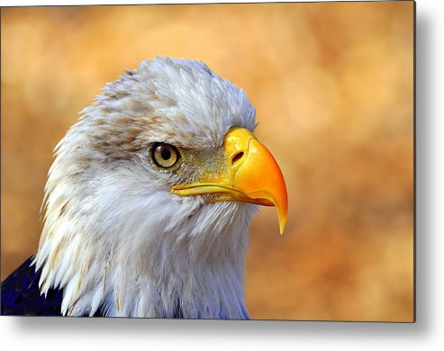 Eagle Metal Print featuring the photograph Eagle 7 by Marty Koch