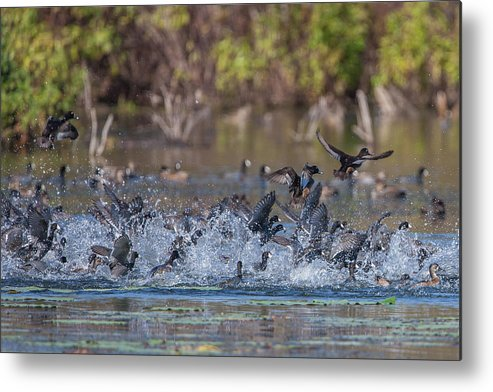 Ronnie Maum Metal Print featuring the photograph Eagle Induced Chaos by Ronnie Maum