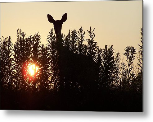 Deer Metal Print featuring the photograph Early Morning Visitor by Laurie Prentice
