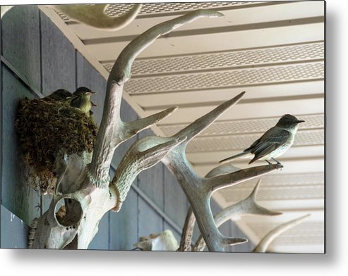 Bird Metal Print featuring the photograph Eastern Phoebes by Tommy Nigbor