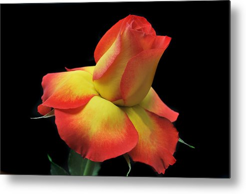 Roses Metal Print featuring the photograph Elegant Rose. by Terence Davis
